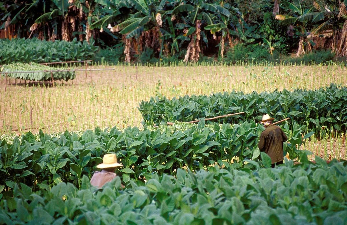 Kuba - Tabakernte in Pinar del Rio