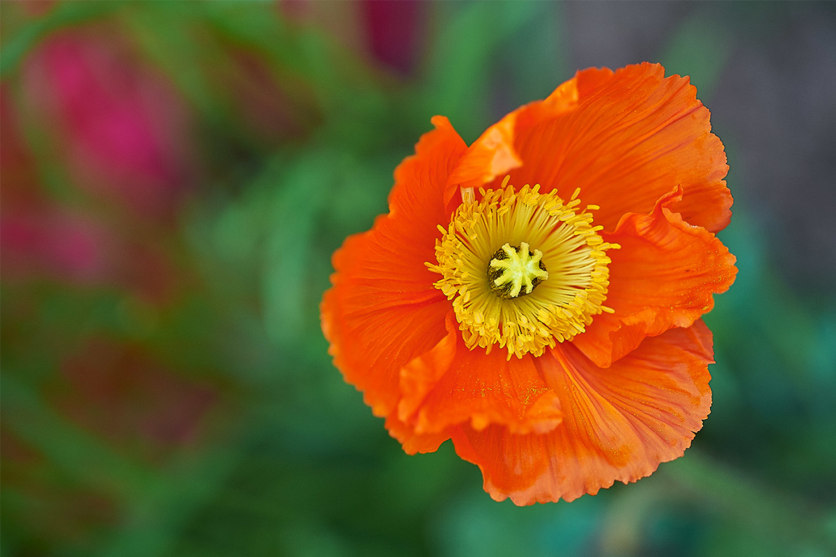 Mohn orange 2