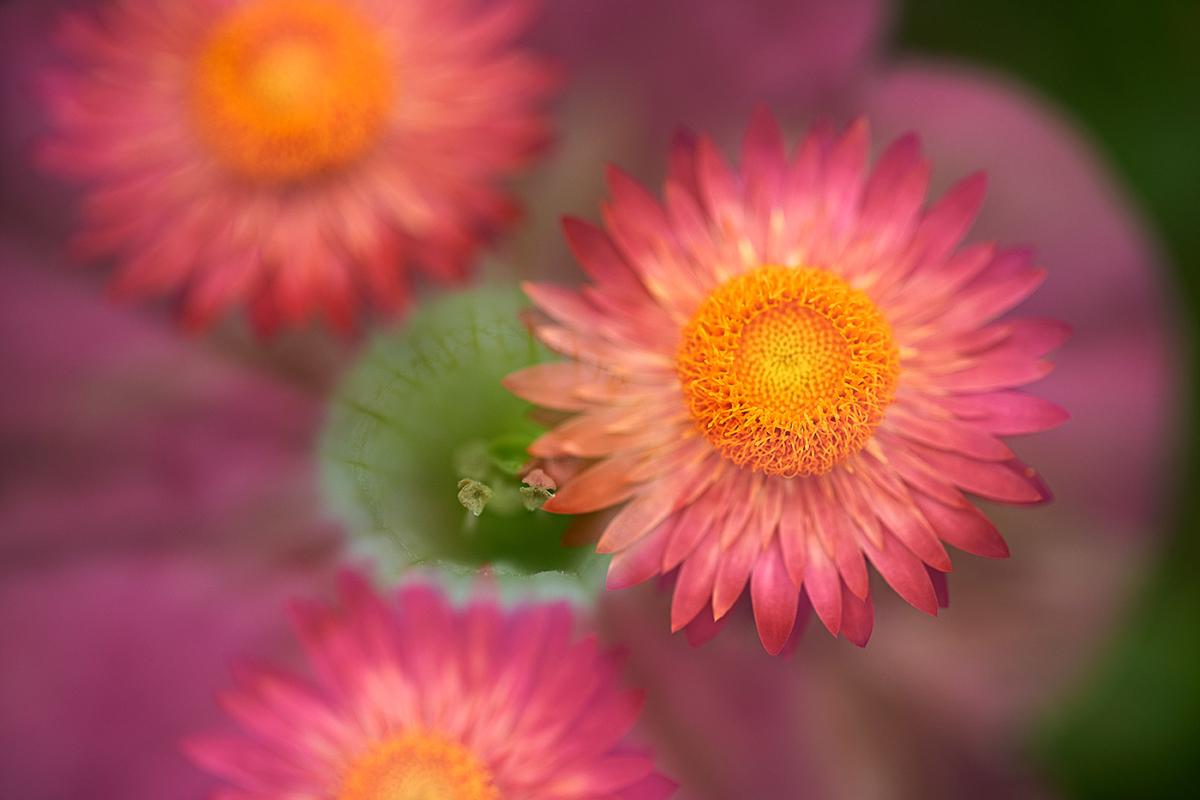 Doppelbelichtung Strohblume und Bechermalve