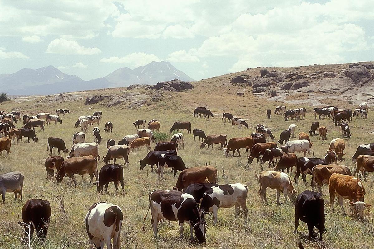 Kühe bei Belisirma