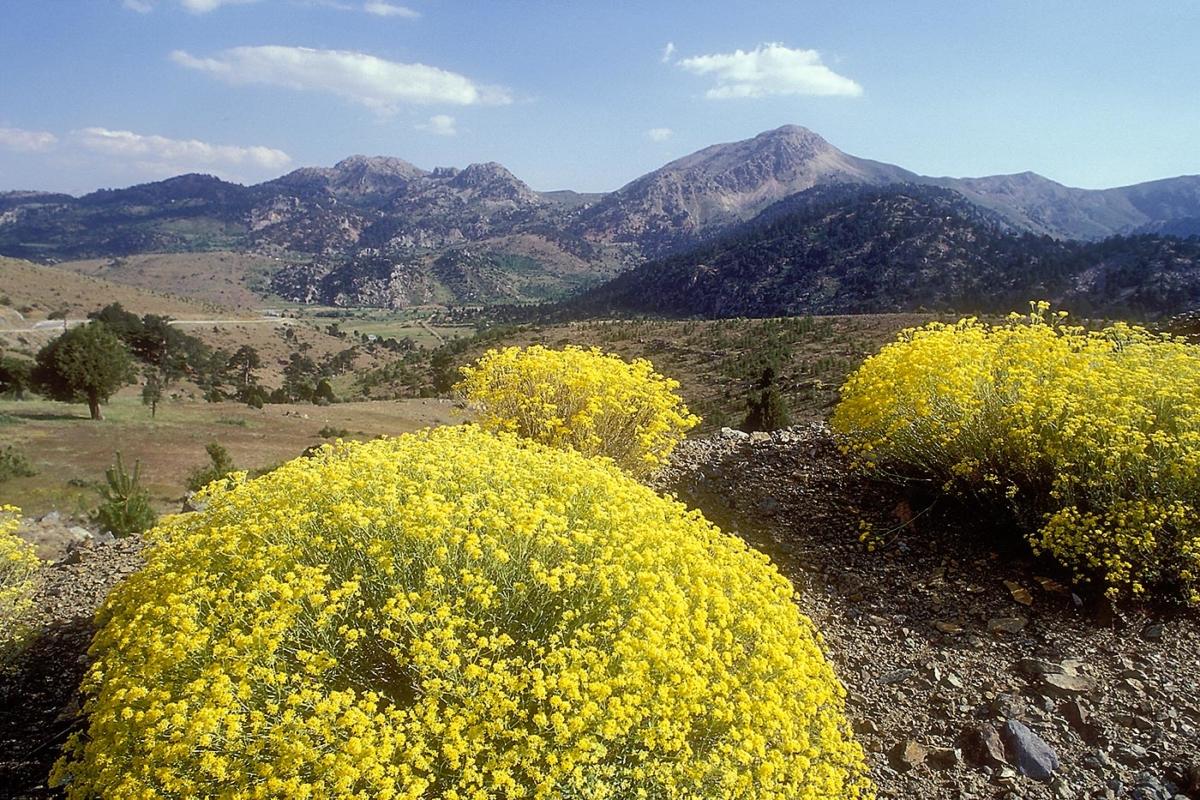 Gelbe Blumen und Berge